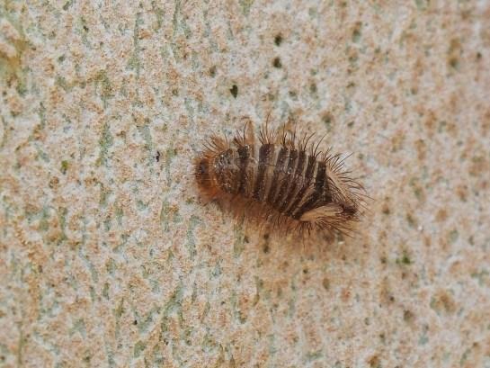 Anthrenus sp. larva