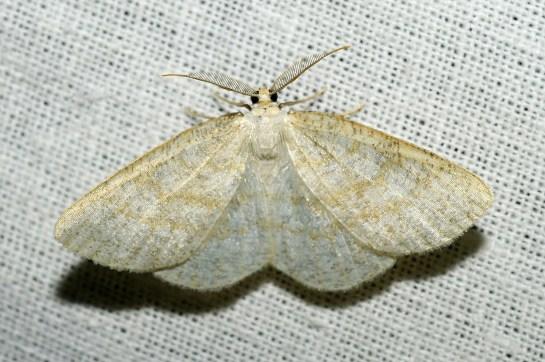 Cab.exanthemata