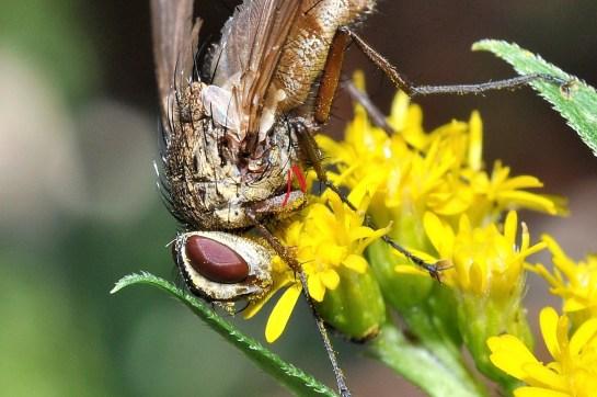 D.rustica - sterno-pleural bristless