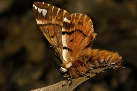 En.versicolora