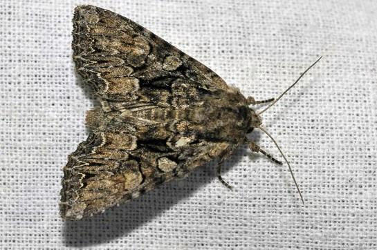 L.thalassina