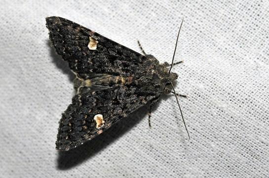 M.persicariae