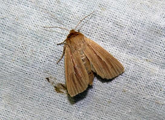 M.pudorina