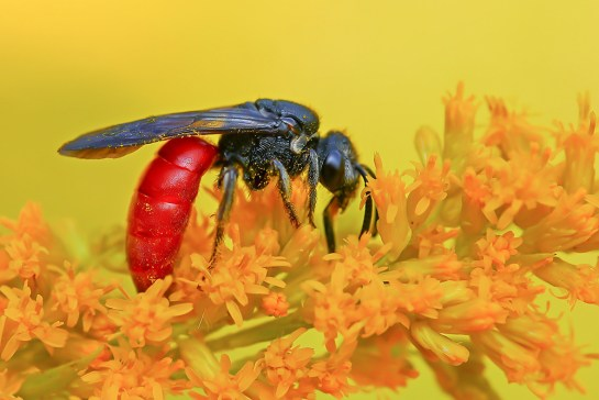S.albilabris