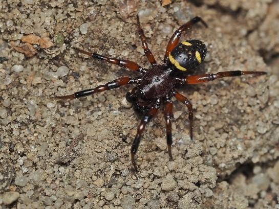 As.phalerata