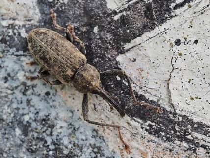 D.longimanus