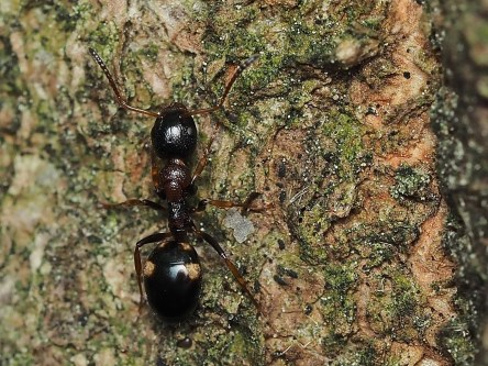 D.quadripunctatus