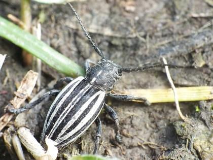 Dor.scopoliii