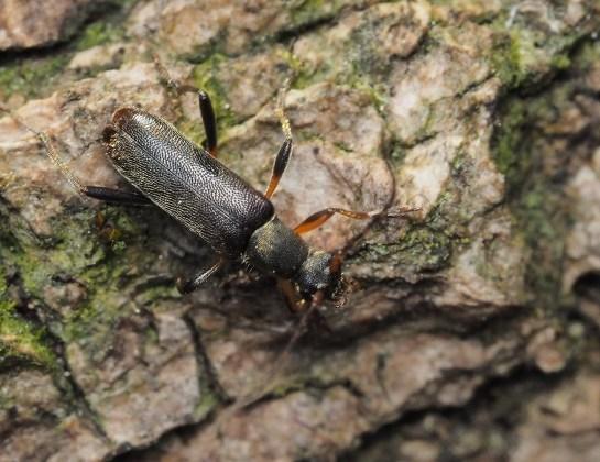 Gr.ruficornis