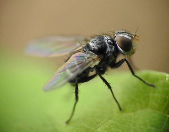 Microsoma female