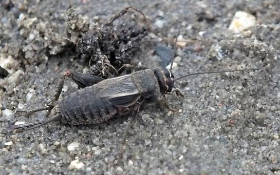 Modicogryllus.