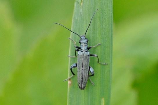 O.virescens