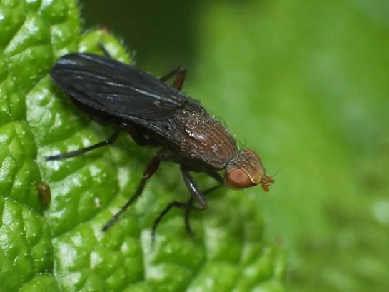 Pel.nigripenis