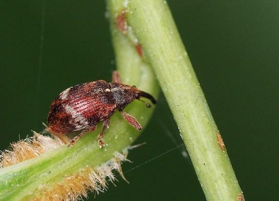 A.rectirostris