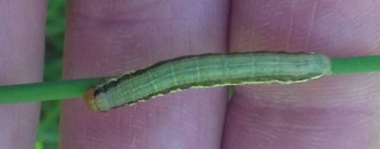 Ap.scolopacina
