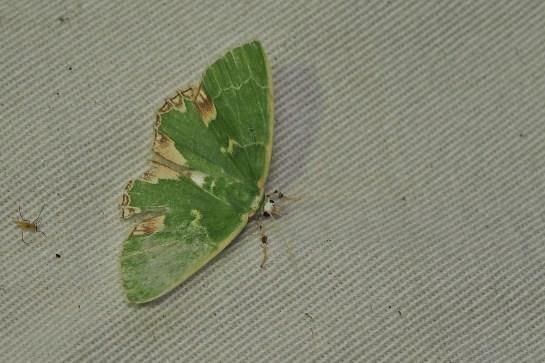C.bajularia