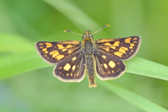 C.palaemon.