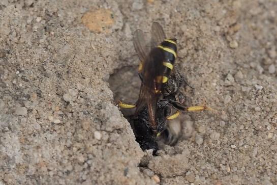 C.peltarius