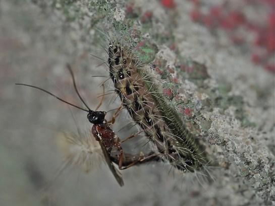 Eridolius female