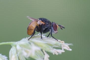 Gymnosoma species