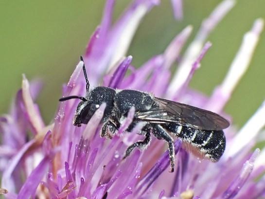 H.crenulatus