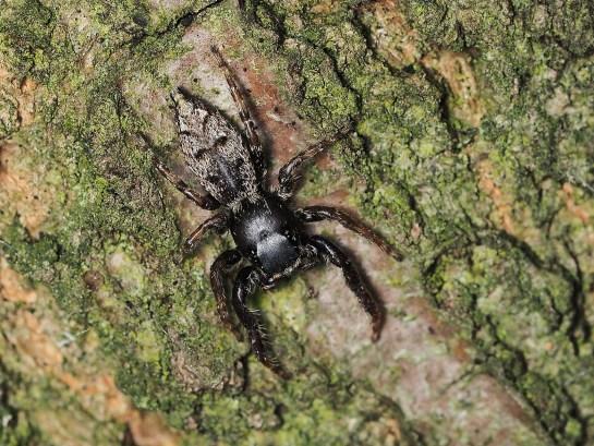M.muscosa