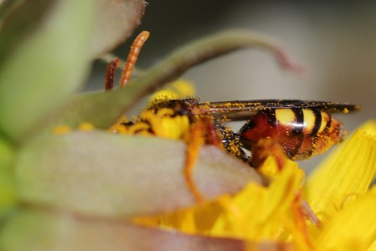 N.bifasciata