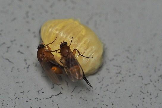 P.fasciata