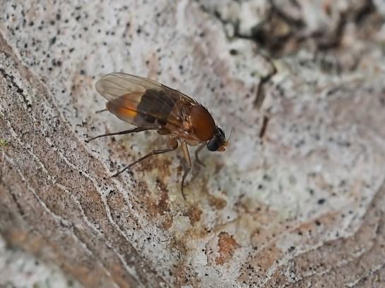 P fasciata female