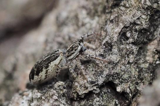 P.encarpatus