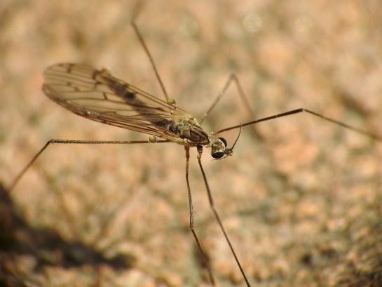 S.hybrida