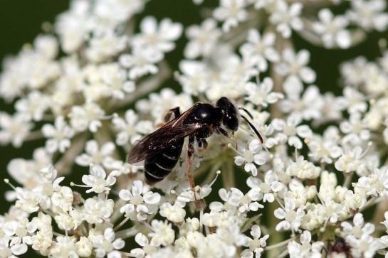 A nitidiuscula