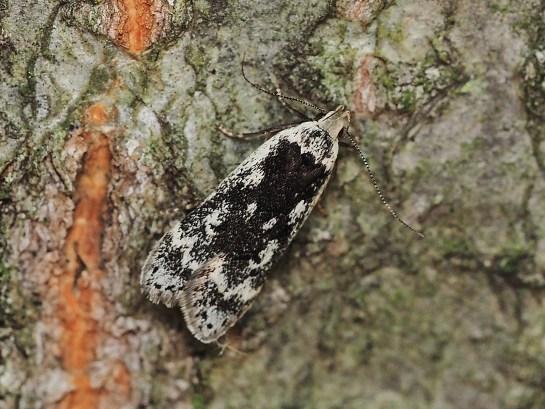 A.populella