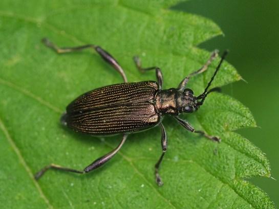 D.crassipes