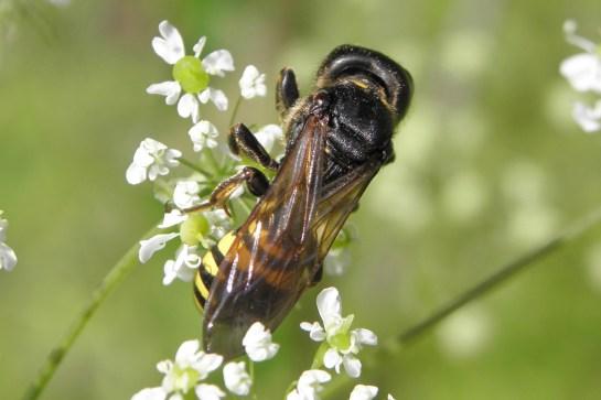 E.ruficornis