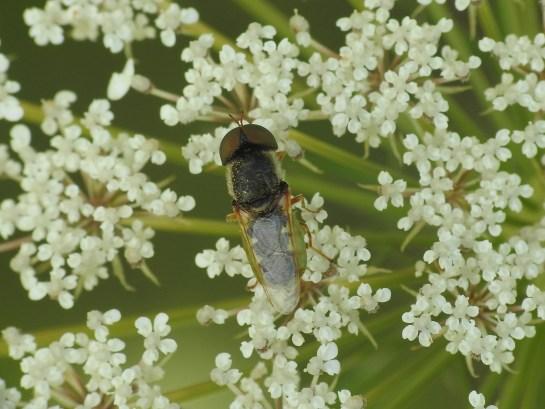 O.angulata
