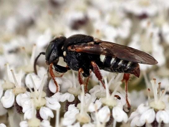 O.variegatus