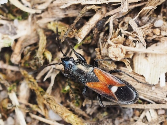 P.staphyliniformis