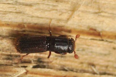 Pl.cylindrus