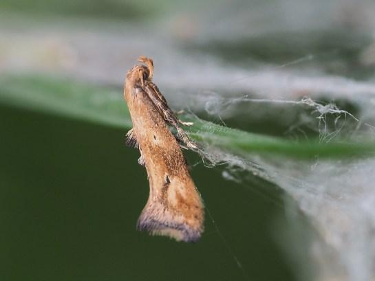 E.illigerella
