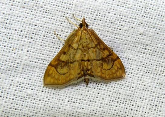 Ec.rubiginalis.