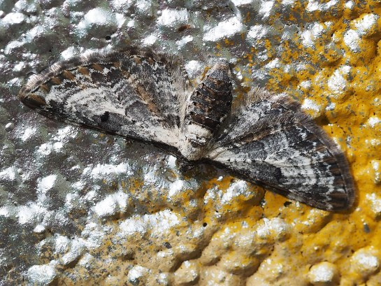 E.succenturiata