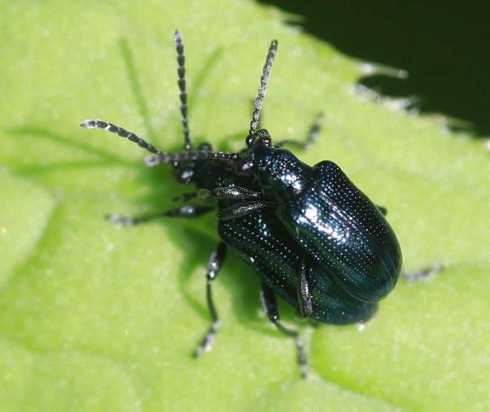 L. cyanella