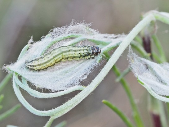 L.turbidalis
