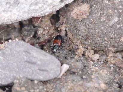 Ocydr.varicolor