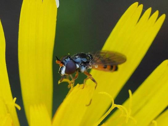 P.tricincta