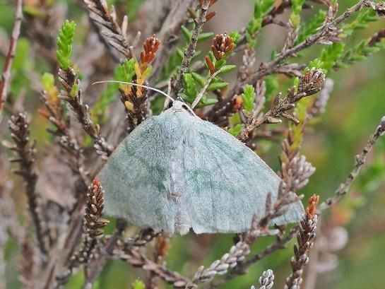 P.pruinata
