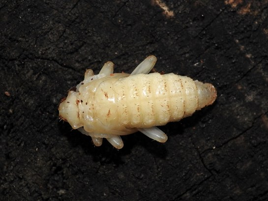 Rh.inquisitor female pupa