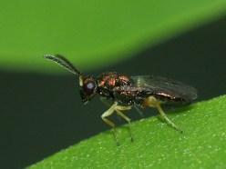 Torymus species