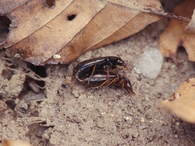 Trichotichnus